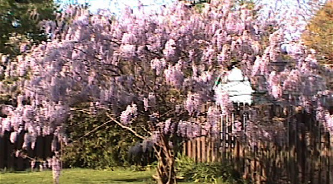 "1999 WISTERIA ""TREE"""