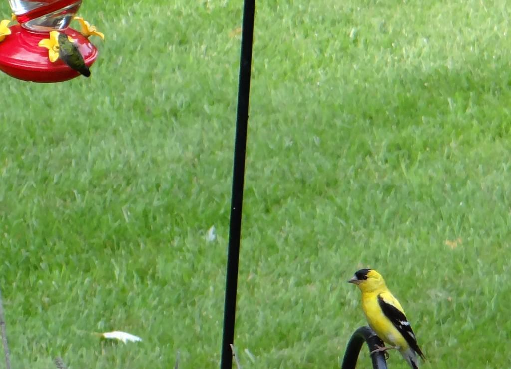 GOLDEN FINCH AND HUMMINGBIRD