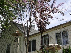 RED BUD AND CRABAPPLE