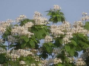 CATALPA TREE