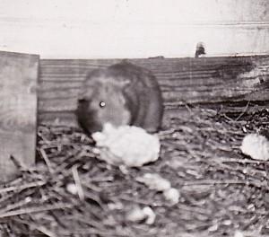 1958 GUINEA PIG